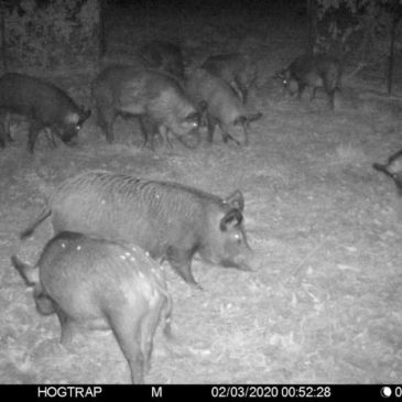 "Noack: Initial month of feral hog trapping a ""great success"""