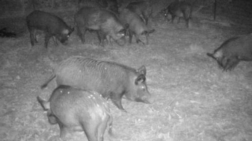 """Noack: Initial month of feral hog trapping a """"great success"""""""